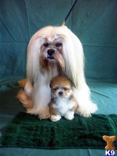 Look at the face of the long haired dog. Lhasa Apso Puppies, Boxer Puppies, Puppies And Kitties, Beagle Dog, Cute Puppies, Cute Dogs, Boxer Mix, Bichon Frise, Doggies