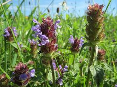 The Prunella Vulgaris Herb and Traditional Chinese Medicine