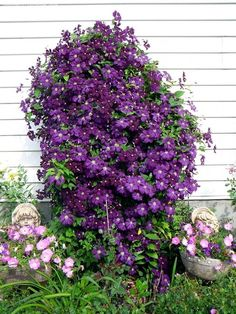 Tips for planting, care and cutting - Clematis Climbing Plants