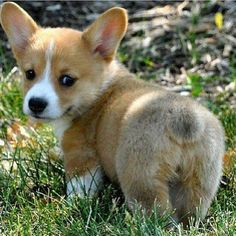 Corgi puppy, so cute!