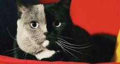 This Beautiful Chimera Cat Is Winning the Internet