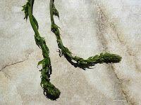 Οβριές-Tamus communis Asparagus, Vegetables, Food, Gardening, Diy, Plants, Studs, Bricolage, Essen