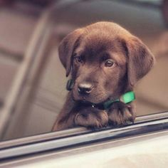 """Labrador retrievers, or """"Labs"""" as they've become fondly known, are one of the most popular dog breeds of our time. Super Cute Puppies, Baby Animals Super Cute, Cute Baby Dogs, Cute Little Puppies, Cute Dogs And Puppies, Cute Little Animals, Cute Funny Animals, Doggies, Buy Puppies"""