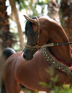 Arabian Morgan western national show horse equine equestrian............ I…
