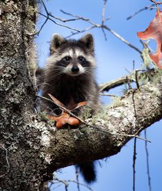 Young raccoon by deseonocturno.deviantart.com on @DeviantArt