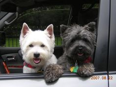 my west highland terrier, Stewart and my cairn terrier, Watson