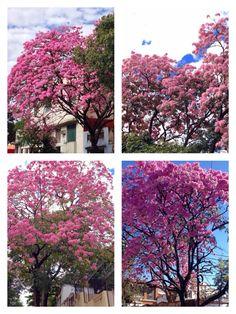 Collage de Lapachos de Asunción