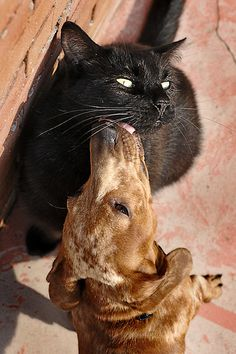 {Monday Meow: doxie kisses} ah, purr.