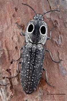 Alaus oculatus - Eyed click beetle by Colin Hutton Photography