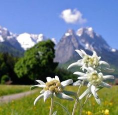 Edelweiss in Germany ❤ World Photography, Bavaria Germany, Rest Of The World, Adventure Is Out There, Germany Travel, Vacation Trips, Countryside, Tourism, Places To Go