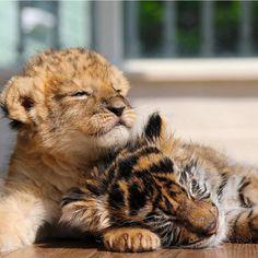 Lion cub and Tiger cub best of buddies Super Cute Animals, Cute Little Animals, Cute Funny Animals, Cute Cats, Big Cats, Baby Animals Pictures, Cute Animal Pictures, Animals And Pets, Wild Animals