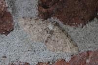 Berkenspikkelspanner - Aethalura punctulata