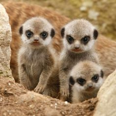 Three baby meerkats hiding behind a small dirt hill.