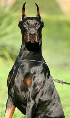 Dobermann....insane muscle power going on here...crazzzzy! That's one pooch I would mess with!