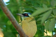 Animais em Extinção no Brasil - UDU-DE-COROA-AZUL Encontrada nos biomas da Amazônia, Pantanal e Mata atlântica, essa ave multicolorida vem enfrentando problemas com a perda de seu habitat por causa do desmatamentos das regiões. (Espécie em perigo na Mata Atlântica)