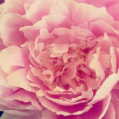 pink peony-my favorite flower