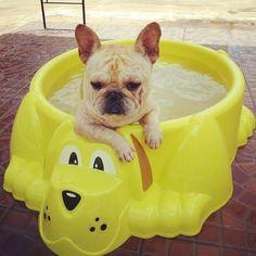 Hot Tubbin' French Bulldog