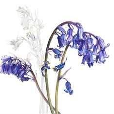 Bluebells plant illustration by Rosie Sanders Illustration Botanique, Plant Illustration, Botanical Flowers, Botanical Prints, Botanical Drawings, Watercolor Flowers, Flower Art, Fine Art Prints, Artist