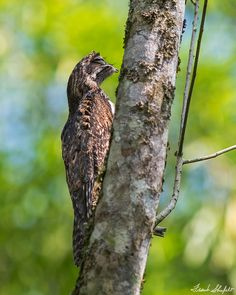 Frank Shufelt posted a photo:  February 20, 2017, at Tinamou, Manizales, Colombia. The Common Potoo (Nyctibius griseus) was undoubtedly one of the most interesting birds that we encountered during our recent trek through the central Andes of Colombia. This bird camouflages so well by its color and mode of perch that you would have very little chance of seeing it during the day. We find them by listening for their song at night or by shining a light into the dark and looking for reflections…