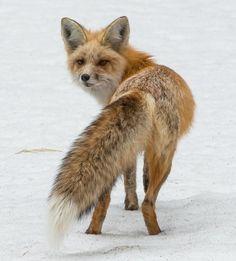 beautiful-wildlife:  Red Fox of Silver GatebyYeates...