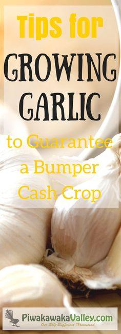 Tips for Growing Garlic to Guarantee a Bumper Cash Crop -- Growing garlic is super easy, and takes very little skill or input. Garlic is what is considered a cash crop for many people. Growing garlic is a low-effort way to make a little money on the side in your own backyard. Garlic's requirements are modest – some well-rotted manure or...