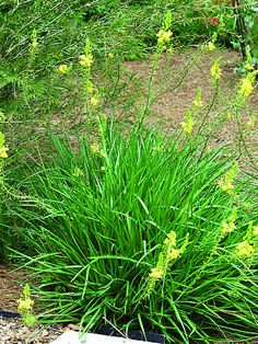 Bulbine prefers full sun, has light green succulent foliage, and produces everblooming stems of many star-shaped yellow or orange flowers late spring to early summer. It can withstand a light frost but should be protected. In South Africa, the sap in the leaves is used for healing purposes