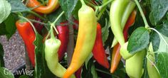 The world of the chili pepper is a bit of a macho one: Who can grow the hottest? And, perhaps more entertainingly, who's prepared to eat it! It's a brave world, with evermore painful ways conjured up to pack as much heat as possible into chili varieties.