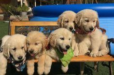 Current Litters | Cielos Golden Retrievers Golden Retriever Collie Mix, Retriever Puppy, Puppies, Golden Retrievers, Doggies, Animals, Animales, Animaux, Retriever Puppies