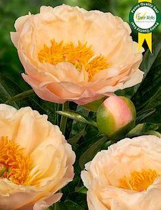 Kings Day, Types Of Flowers, Peonies, Rose, Green, Plants, Beautiful, Flower Types, Pink