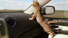 Come viaggiare in auto con il vostro gatto