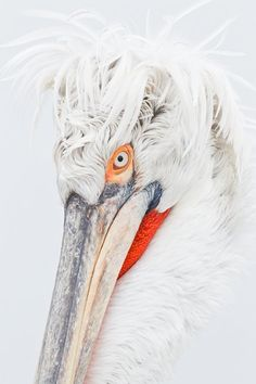dalmatian-pelican-bad-hair-day-_r1e8715-lake-kerkini-greece