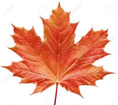 Photo about Close-up of a perfect red maple leaf isolated on pure white background. Image of season, climate, background - 189738 Easy Canvas Painting, Autumn Painting, Rock Painting, Islamic Wallpaper Hd, Pure White Background, Tattoo Project, Leaf Art, Tree Art, Autumn Leaves