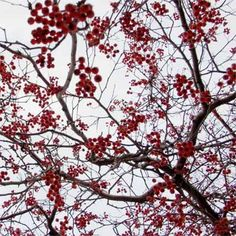 To give your yard a colorful accent during the winter plant a 'Winter King' hawthorn. silvery exfoliating bark and brilliant red berries that make it a standout in winter, when yards are dull.
