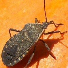 Squash Bug: How to identify and control this pest from The Old Farmer's Almanac.