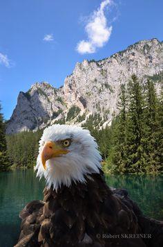 Bald Eagle  (Haliaeetus leucocephalus)  - Weißkopfseeadler Pygargue à tête blanche - Águila calva - Águia-de-cabeça-branca Aquila di mare testabianca wingspan 1.8 - 2.3 m (5.9 - 7.5 ft), weight 3 - 6.3 kg (6.6 - 13.9 lb) SKREINER.COM