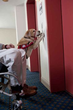 Service dog (mobility assistance)