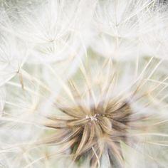 Zarter Fotoprint »Pusteblume« veredelt deine Wand!   Wunderschöne Inspiration zum Aufhängen, Einrahmen, Verschenken, Freuen und Träumen.    *Maße*  hi