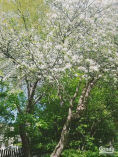 Apple tree im bloom!