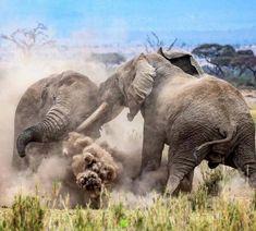 Beautiful Wild Ellas! 💗🐘❤️ . . .  Save the Elephants!  #beautifulelephants #stoptheivorytrade #elephantrescue #savetheelephants #elephant… Слонята, Детеныши Животных, Смешные Фотографии Животных, Африканский Слон, Природа, Буддизм, 3d Декор Стен, Рисунки Слона, Дикие Животные