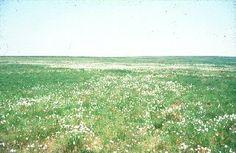 Cotton-grass near Exe Head.