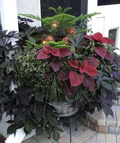 'Redhead' coleus, Norfolk Island pine, 'Blue rows' rush, Breathless™ Blush euphorbia, Silver drop eucalyptus and Sweet potato vine.