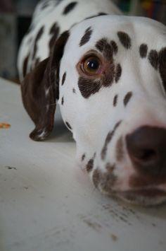 Dalmatian love <3