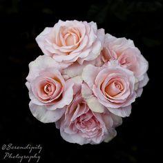 Celebrating the Rose