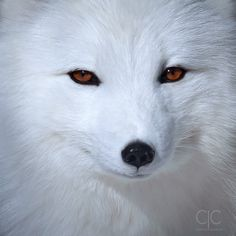 Arctic Fox by Lynn Ce on Baby Animals Pictures, Cute Animals, Animal Articles, Movie Co, Nail Art Photos, Foxes Photography, Arctic Fox, Fox Art, Polar Bear