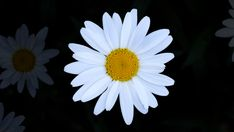 close view of daisy photo – Free Flower Image on Unsplash Flower Images Hd, Flower Photos, Really Love You, My Love, Pearl Lowe, Daisy Image, Pink Photo, He Loves Me, Names With Meaning