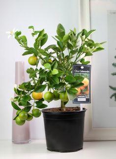 Цитрусовое растение - каламондин. Гибрид кумквата и мандарина. Ароматные плоды в яркой зелени