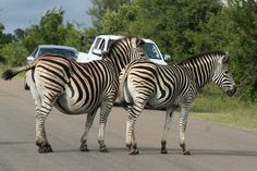 Kruger National Park in Kruger Park, Mpumalanga. The largest game reserve in South Africa, the Kruger National Park is larger than Israel. Kruger National Park, National Parks, Wilderness South Africa, Game Reserve