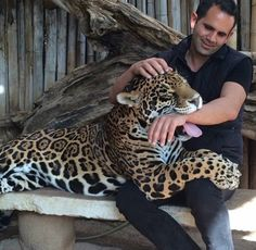 This is Ma-Tzu's biological dad. One gorgeous and huge Jaguar. When I went to Zoofari to secure ILanga, I met this Angel. I was told that… Nature Animals, Animals And Pets, Baby Animals, Funny Animals, Cute Animals, Jaguar, Animal 2, Mundo Animal, Funny Cat Pictures