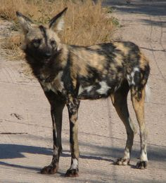 painted dogs of africa photos   The African wild dog, also called Cape hunting dog or painted dog ...