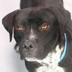 *MEATBALL - ID#A728426  Shelter staff named me MEATBALL.  I am a male, black and white Pit Bull Terrier.  The shelter staff think I am about 1 year and 7 months old.  I have been at the shelter since Jul 15, 2013.